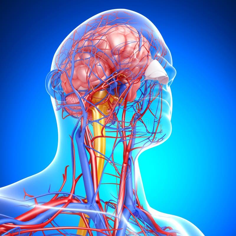 Sistema circulatório e nervoso de cabeça ilustração do vetor