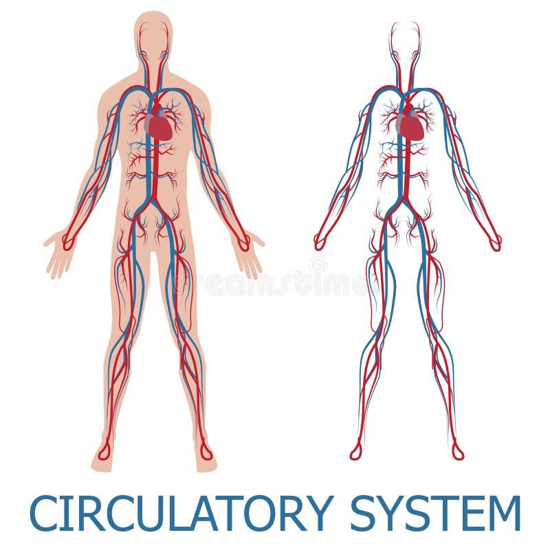 Sistema circulatório humano ilustração stock