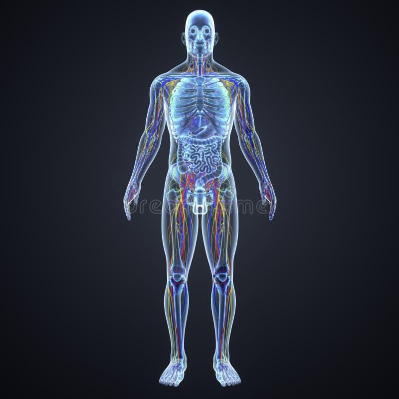 Sistema circulatório, nervoso e nós de linfa com opinião anterior da anatomia ilustração stock