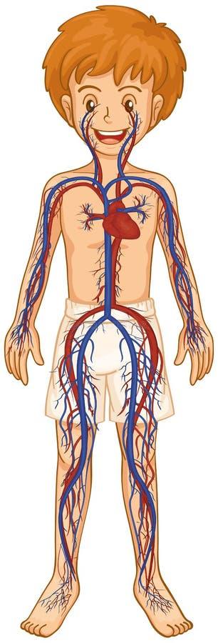 Sistema circulatório no menino humano ilustração stock