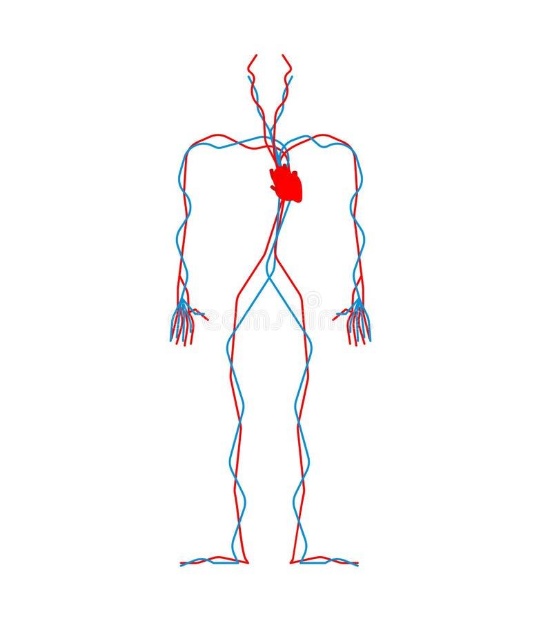 Sistema circulatorio Corazón y vasos sanguíneos Aorta y arteria Hu ilustración del vector