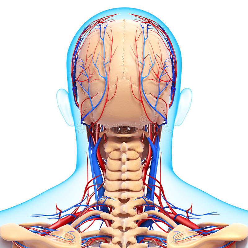 Sistema circulatorio de cabeza humana ilustración del vector
