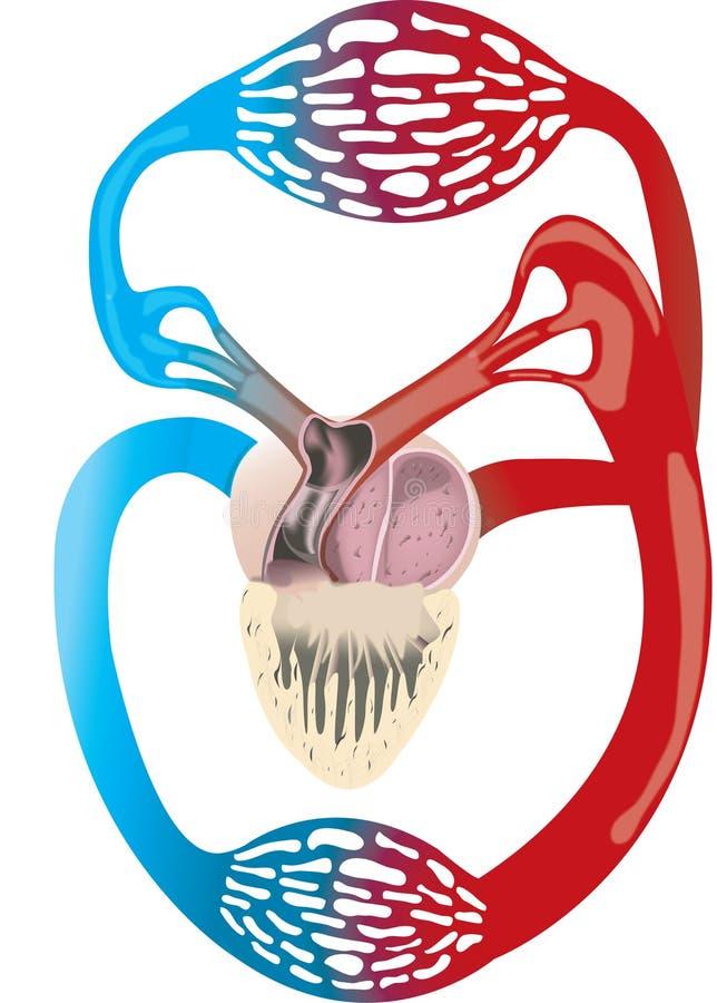 Sistema Circulatorio De La Rana Fotos de archivo libres de regalías