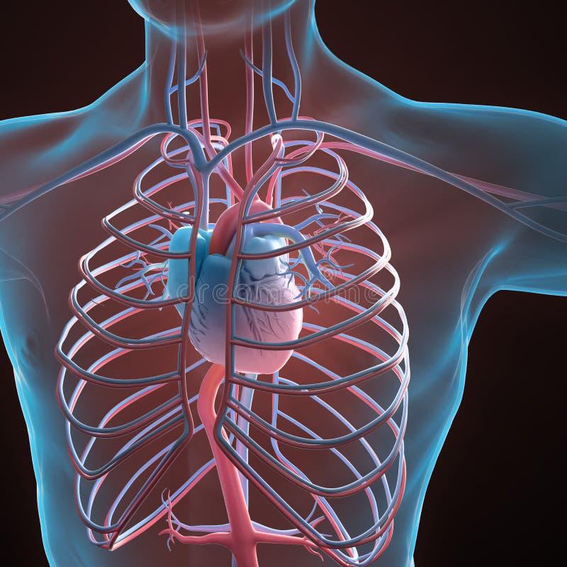 Sistema Circulatorio Humano Stock de ilustración - Ilustración de ...