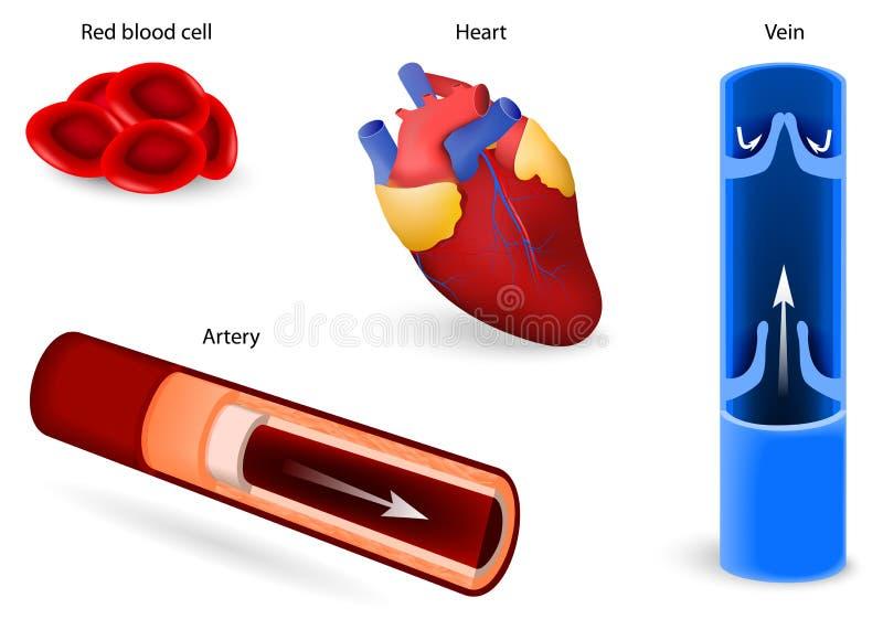 Sistema circulatorio o sistema cardiovascular stock de ilustración