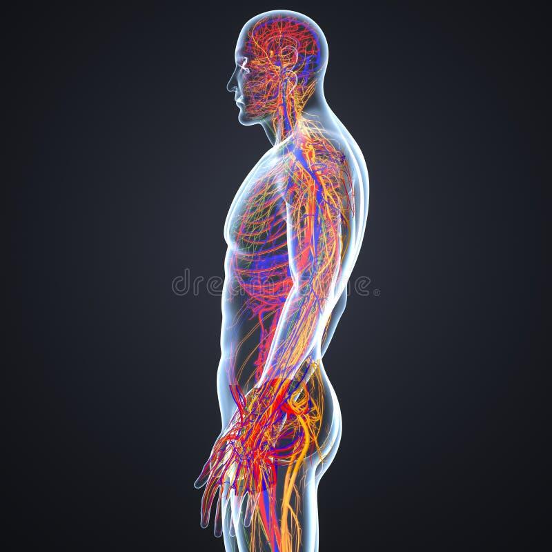 Sistema Circulatorio Y Nervioso Con La Opinión Del Lateral De Los ...