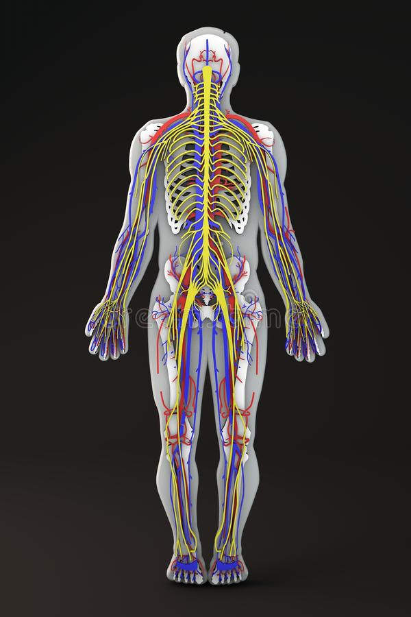Sistema circulatorio y nervioso de la sección esquelética del cuerpo humano stock de ilustración