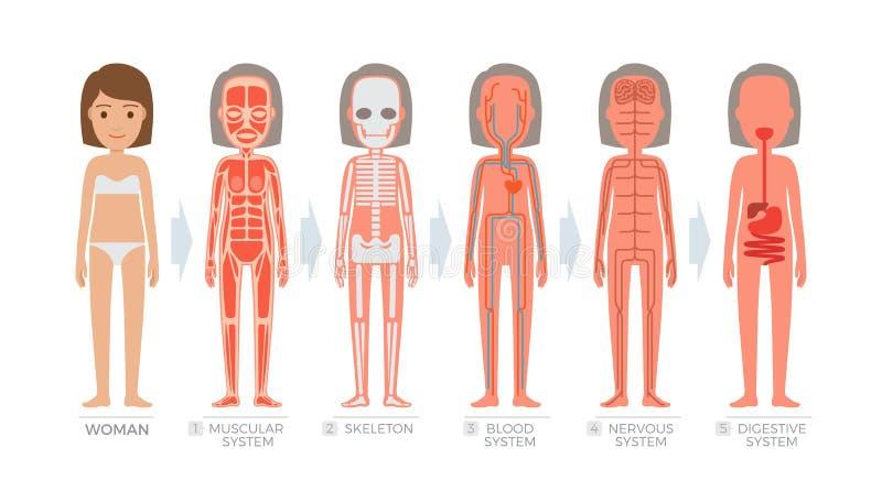 Sistema da anatomia da mulher e estrutura do corpo humano ilustração stock