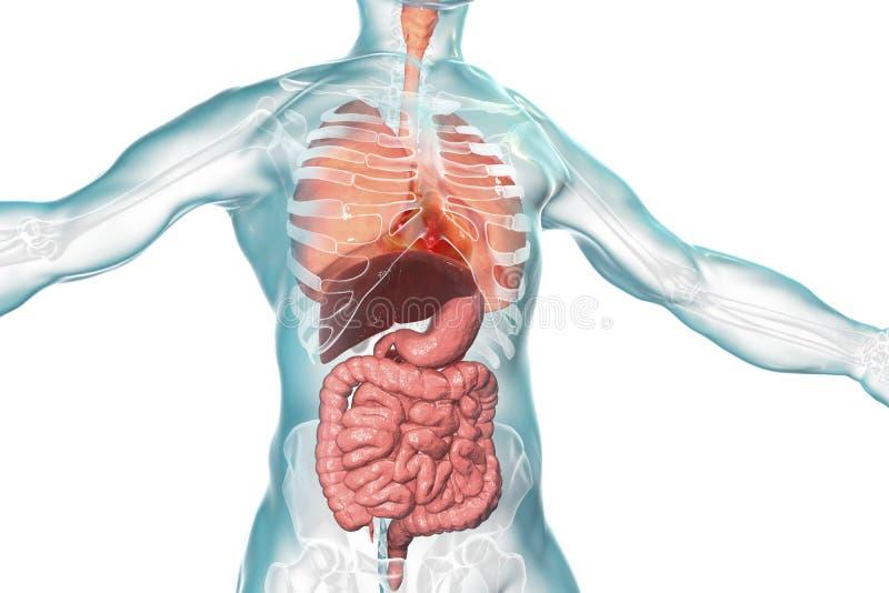 Sistema da anatomia do corpo humano, o respiratório e o digestivo ilustração stock