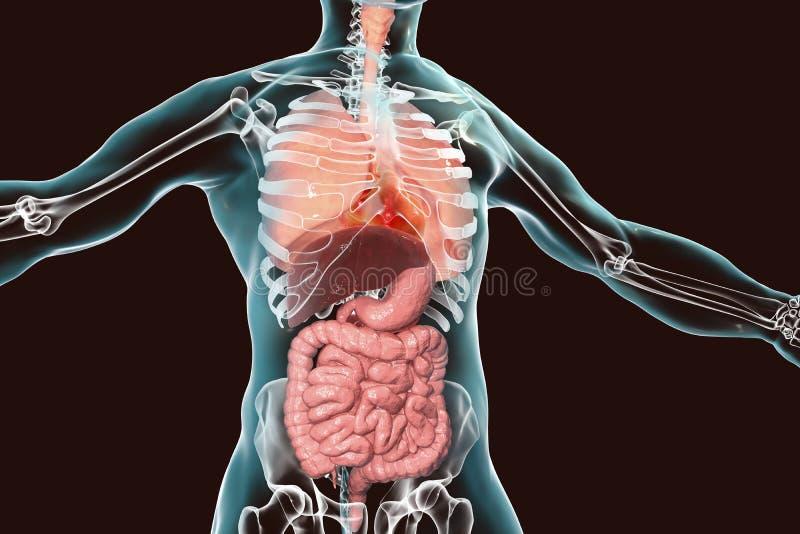 Sistema da anatomia do corpo humano, o respiratório e o digestivo ilustração do vetor