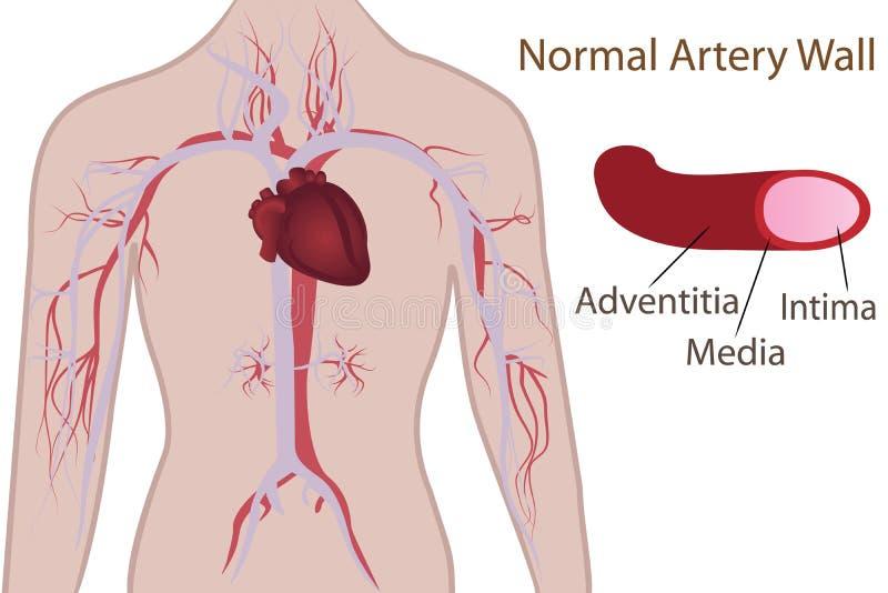 Sistema da artéria no corpo humano ilustração do vetor