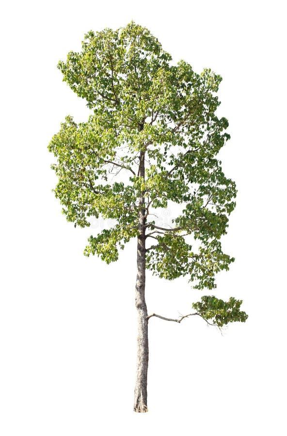 Sistema de árboles aislados en el fondo blanco, la colección de tre imagen de archivo