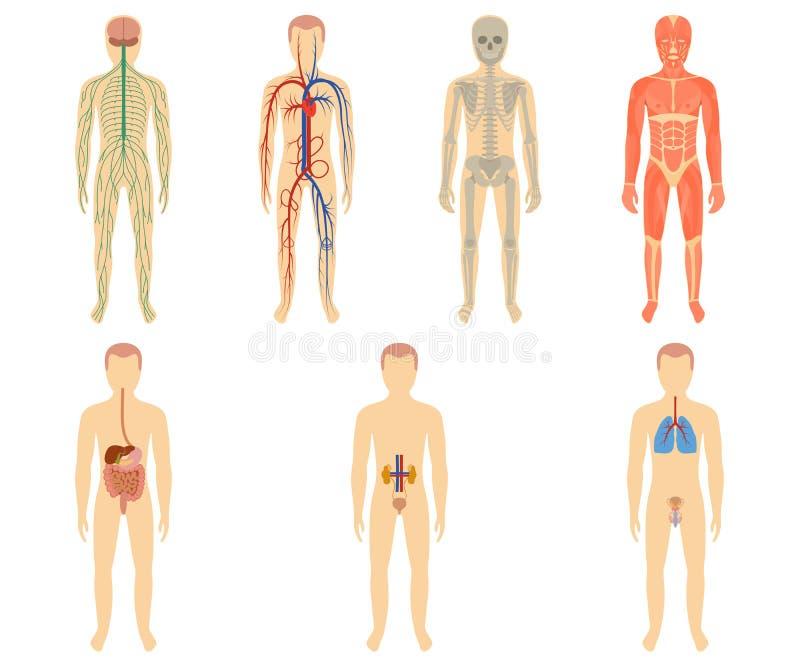 Sistema De órganos Humanos Y De Sistemas Ilustración del Vector ...