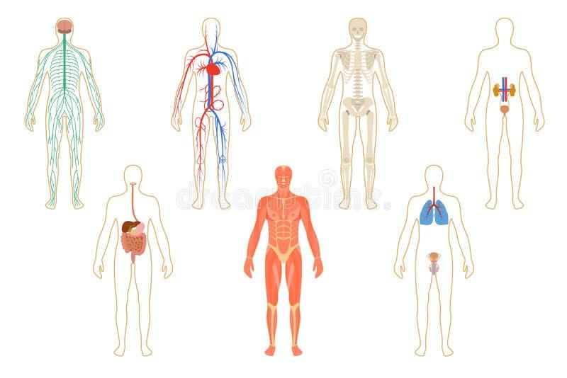 Hermosa Sistemas De órganos Humanos Motivo - Anatomía de Las ...
