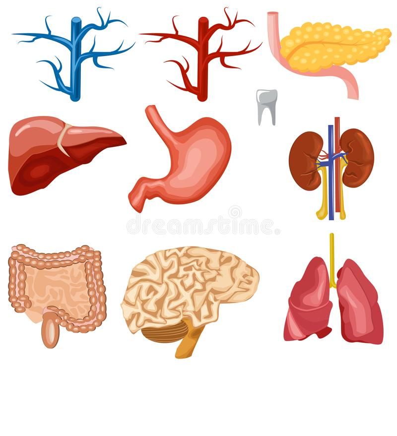 Sistema de órganos internos humanos stock de ilustración