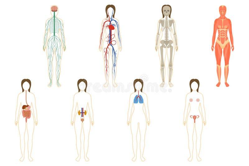 Sistema De órganos Y De Sistemas De La Mujer Imagen de archivo ...