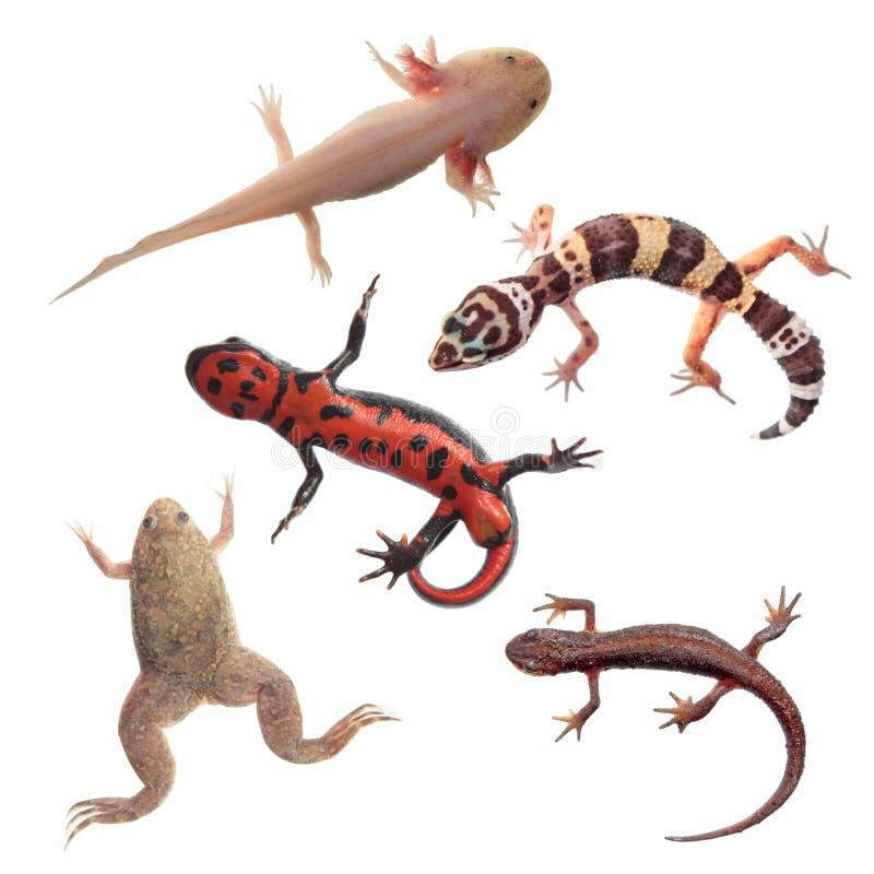 Sistema de anfibios y de reptiles aislados en blanco imágenes de archivo libres de regalías