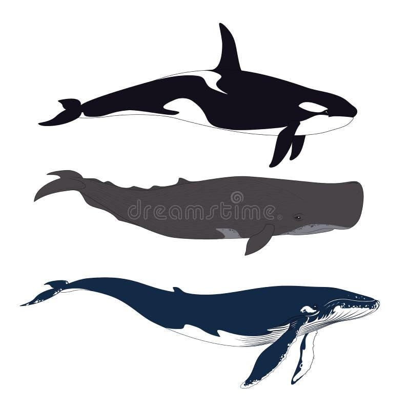 Sistema de ballenas en estilo realista simple Vector libre illustration