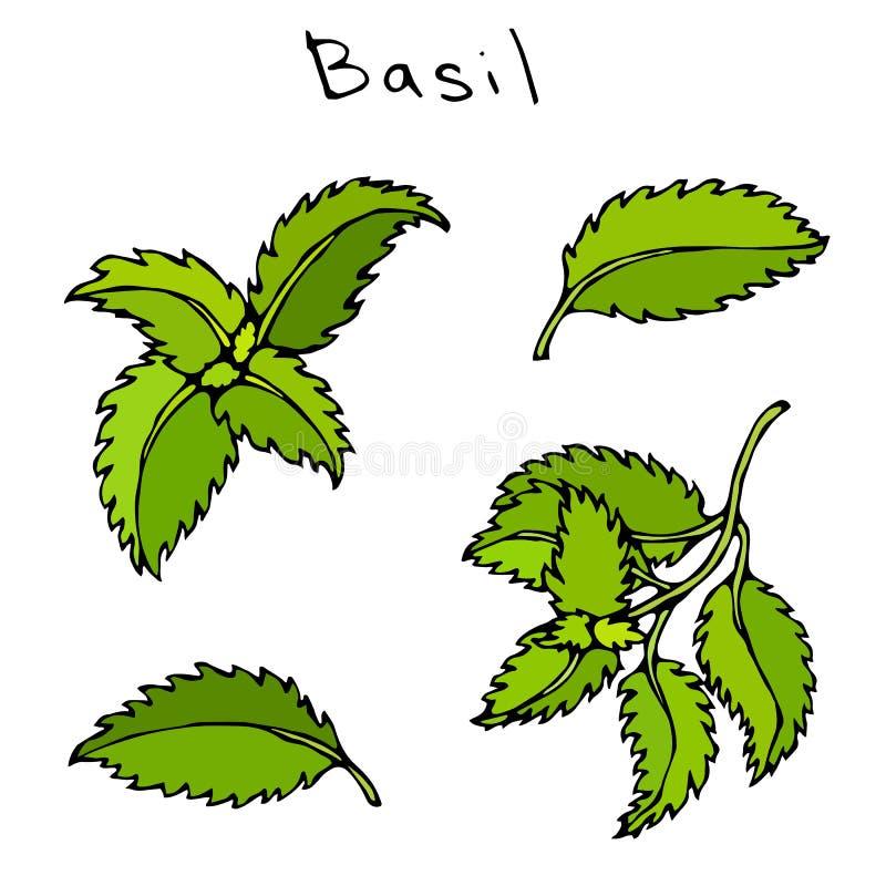 Sistema de Basil Herb Branch y de hojas verdes Bosquejo dibujado mano realista del estilo del garabato Ejemplo del vector aislado libre illustration