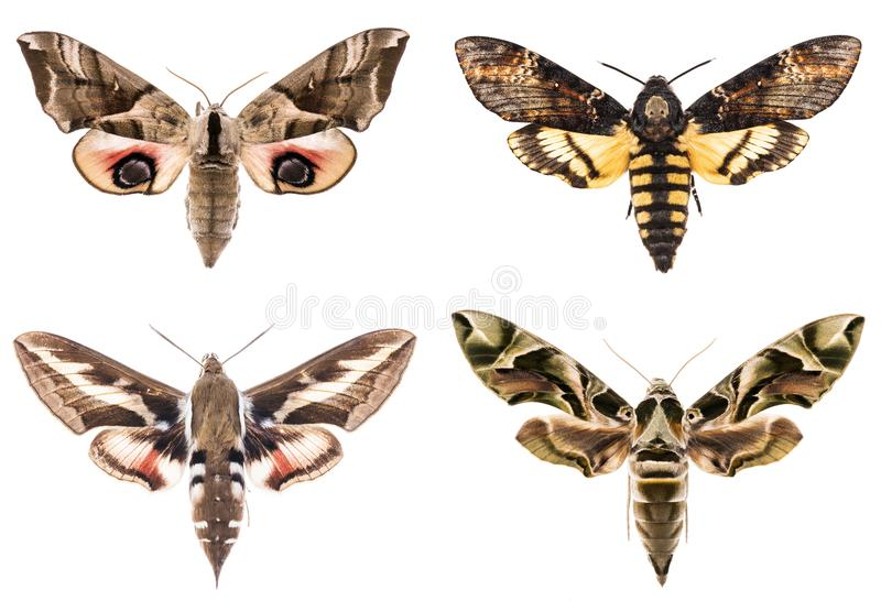 Sistema de cuatro halcón-polillas del Sphingidae fotos de archivo libres de regalías
