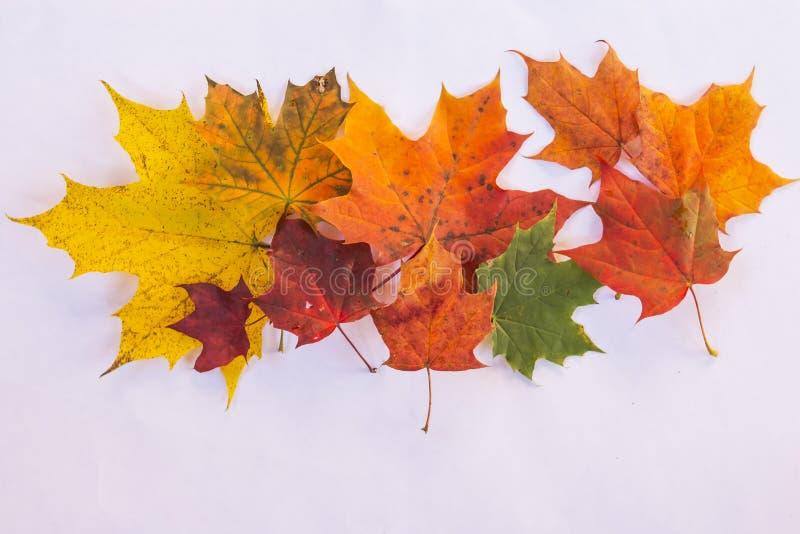 sistema de diversas hojas de los árboles de arce aislados en el fondo blanco Hojas de arce abigarradas de Autumn Fresh Hoja de ar foto de archivo
