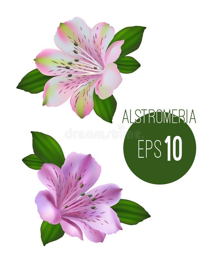 Sistema de dos flores del alstromeria Flowe blanco y rosado del alstromeria foto de archivo libre de regalías