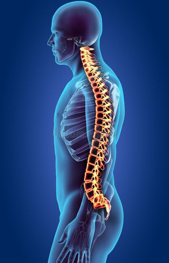 Sistema de esqueleto - espinha do ser humano do raio X ilustração royalty free