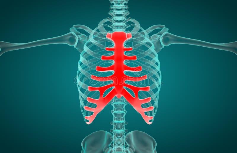 Sistema de esqueleto humano Rib Cage Anatomy ilustração stock