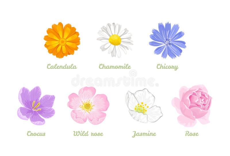 Sistema de flores aisladas en el fondo blanco Ejemplo del vector de la manzanilla, calendula, achicoria, jazmín, rosa, azafrán, R libre illustration