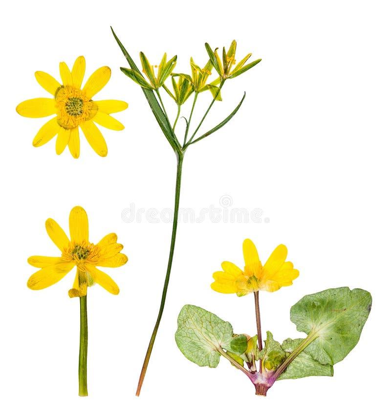Sistema de flores alpinas salvajes presionadas aisladas foto de archivo libre de regalías