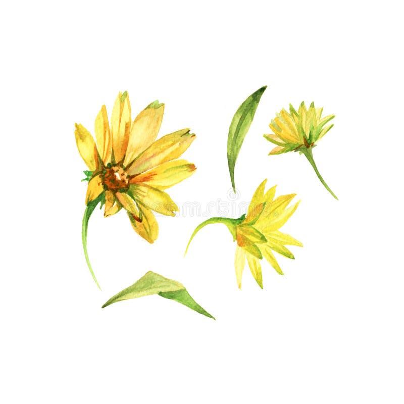 Sistema de flores amarillas Ejemplo dibujado mano de la acuarela aislado en el fondo blanco libre illustration