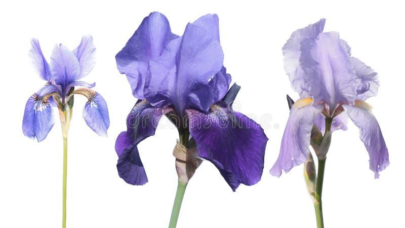 Sistema de flores azules del iris del color aisladas en blanco imagen de archivo