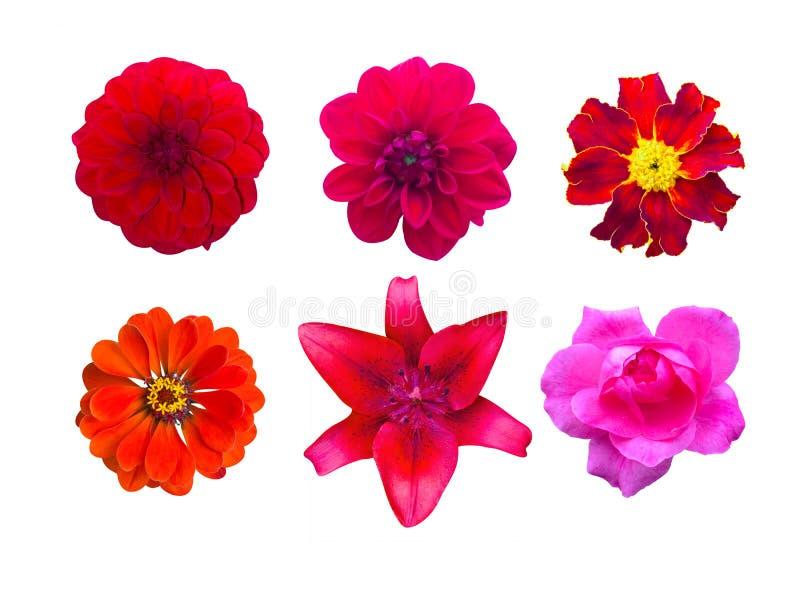 Sistema de flores rojas del jardín aisladas maravilla, Dahlir Lirio y ilustración del vector