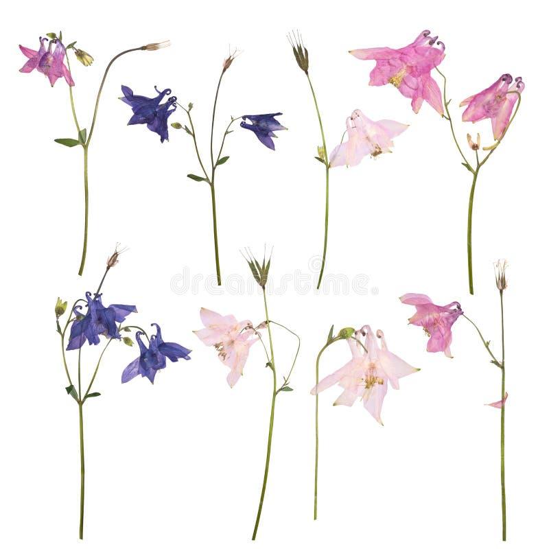 Sistema de flores secadas y presionadas de un Aquilegia del rosa, azul y púrpura vulgaris foto de archivo libre de regalías