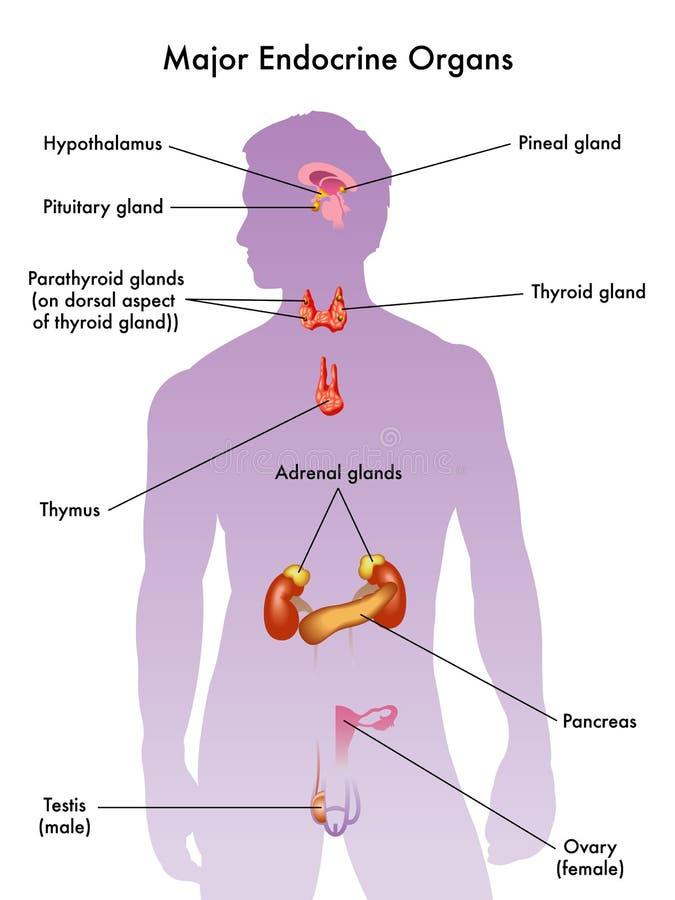 Sistema de glândula endócrina ilustração do vetor
