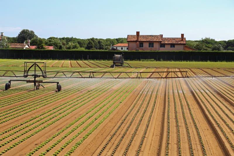 Sistema de irrigación automático de un campo de la lechuga en verano fotografía de archivo