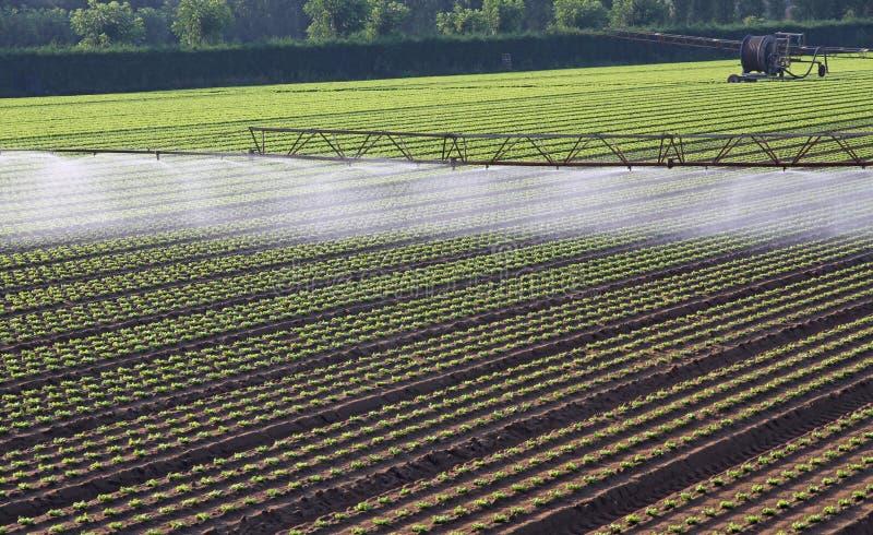Sistema de irrigación automático para un campo de la ensalada fresca foto de archivo