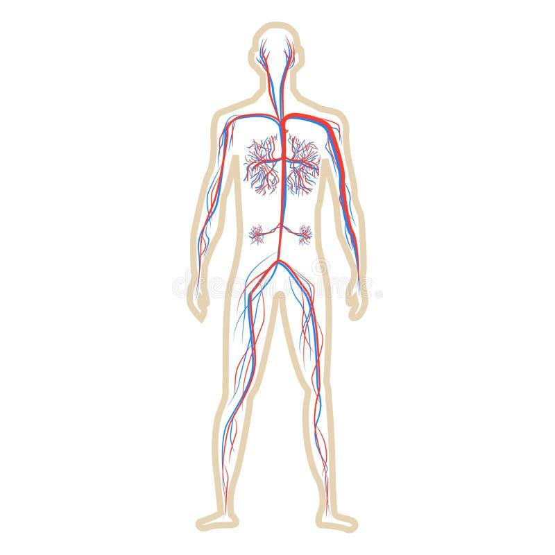 Sistema de la circulación de humano en el ejemplo blanco del vector del fondo ilustración del vector