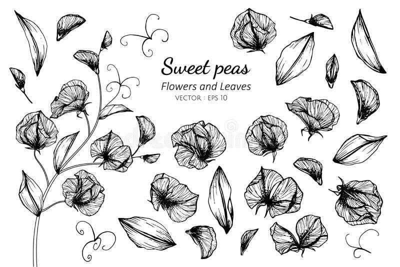 Sistema de la colección de flor y de hojas del guisante de olor que dibujan el ejemplo ilustración del vector