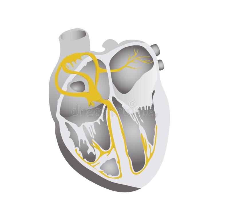 Sistema de la conducción del corazón Ejemplo detallado del corazón humano libre illustration