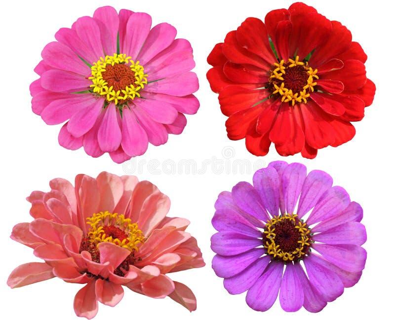 Sistema de la flor de los Zinnias fotografía de archivo libre de regalías