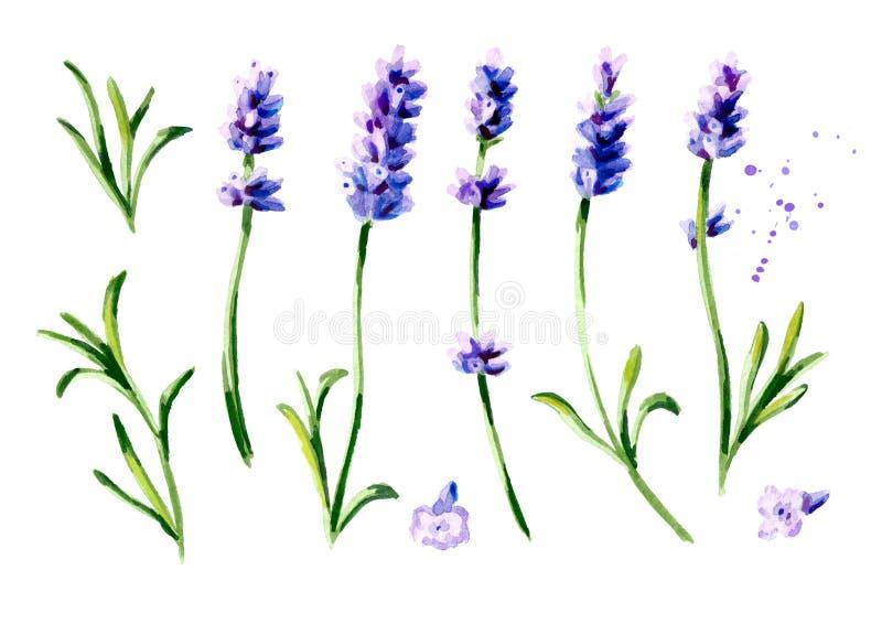 Sistema de la flor de la lavanda Ejemplo vertical dibujado mano de la acuarela, aislado en el fondo blanco libre illustration