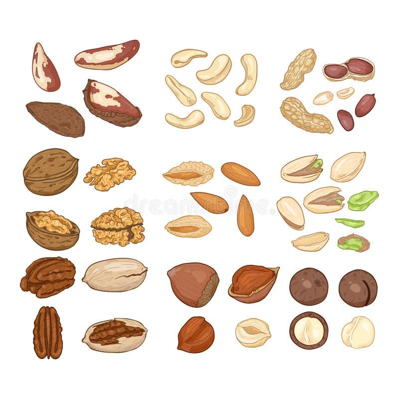 Sistema de la historieta del vector de nueces Todos los tipos de nueces comestibles Bocado sano libre illustration