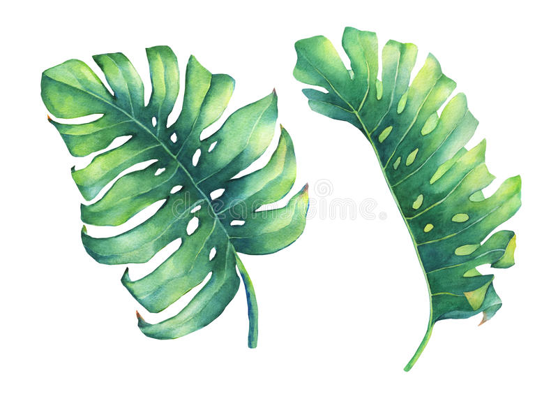 Sistema de la hoja verde tropical grande de la planta de Monstera libre illustration