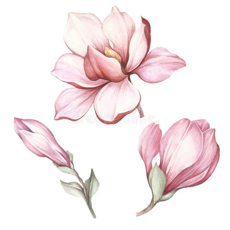 Sistema de la magnolia floreciente Ejemplo de la acuarela del drenaje de la mano libre illustration
