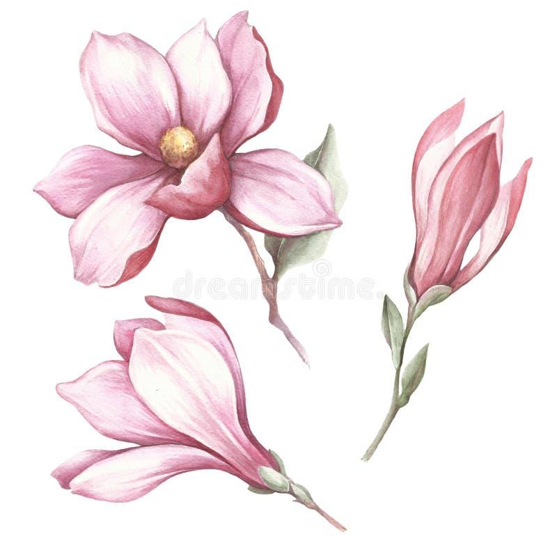 Sistema de la magnolia floreciente Ejemplo de la acuarela del drenaje de la mano stock de ilustración