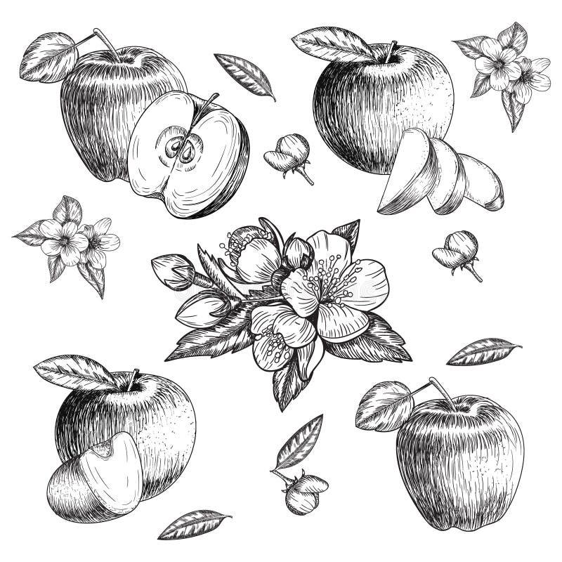 Sistema de la manzana dibujada mano Ejemplo del estilo del bosquejo del vintage Comida orgánica del eco Pedazos enteros, cortados stock de ilustración