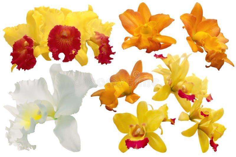 Sistema de la orquídea colorida aislado en el fondo blanco imagen de archivo libre de regalías