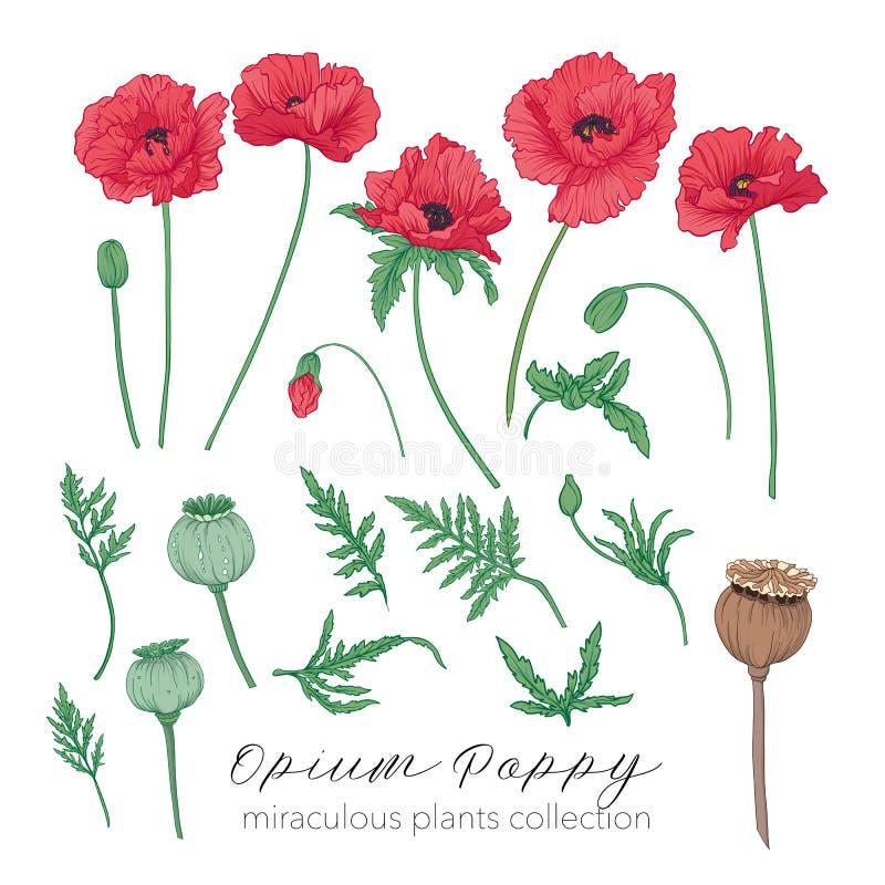 Sistema de la planta de la amapola de opio Ejemplo común coloreado del vector ilustración del vector