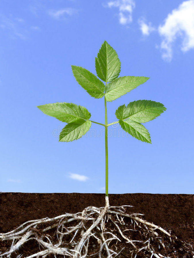 Sistema de la raíz de planta verde.